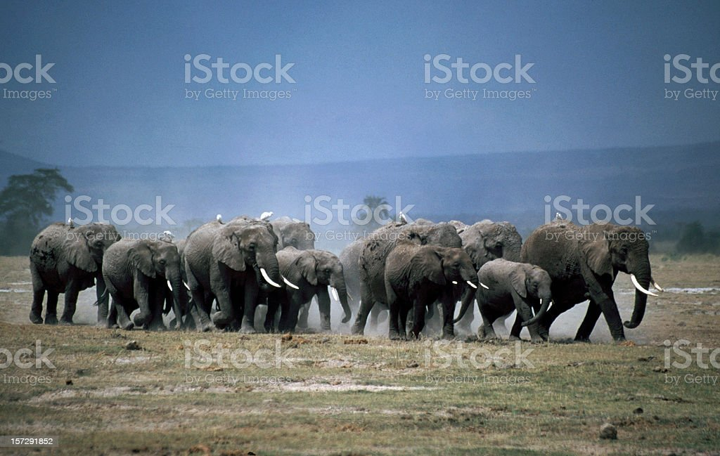 African Elephant family in Amboseli royalty-free stock photo