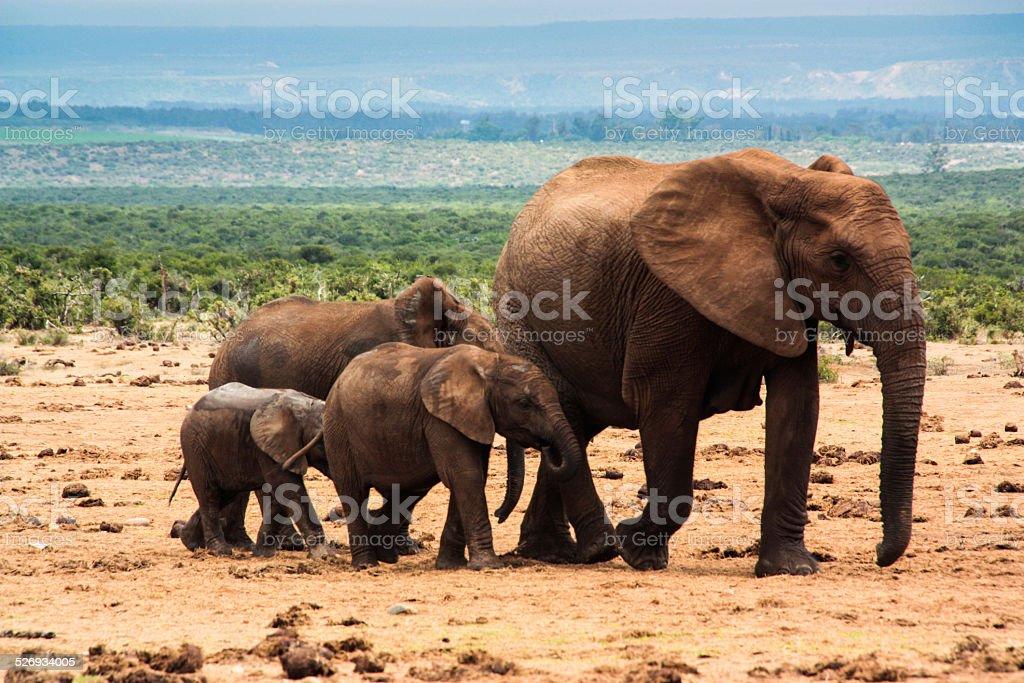 African Elephant Family stock photo