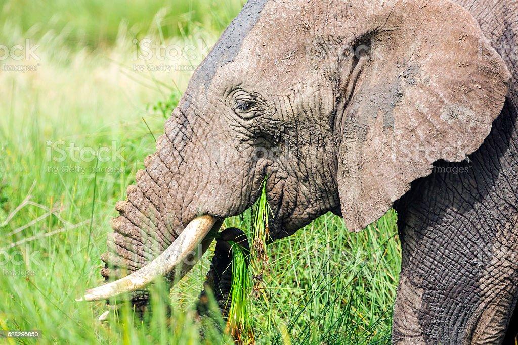African Elephant grazing stock photo