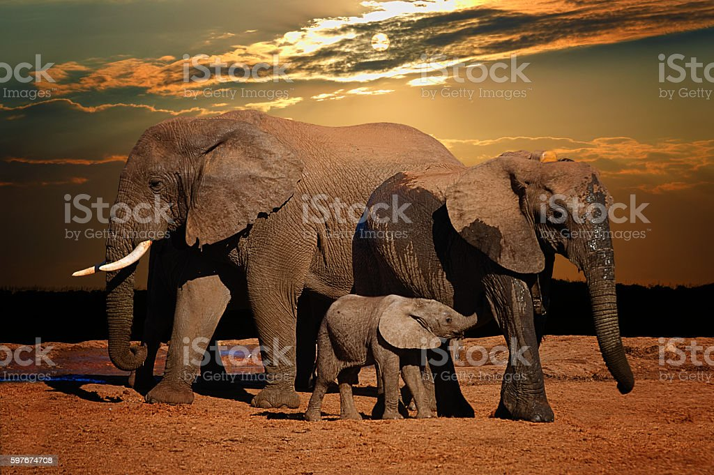 African elephant herd and baby suckling in late afternoon stock photo
