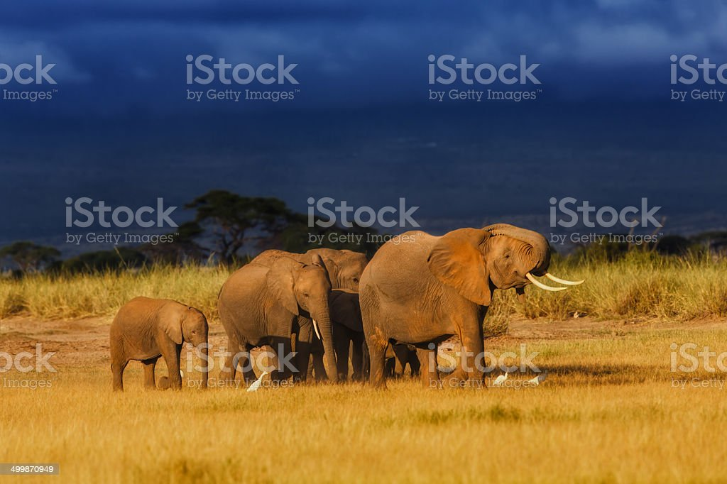 African Elephant herd enjoys the last rays of the sun royalty-free stock photo