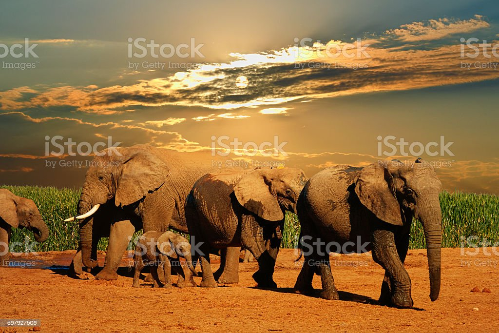 African elephant herd, female,  big male and baby leaving stock photo