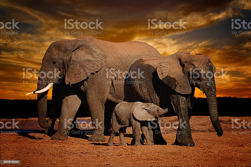 African elephant herd, female,  big male and baby suckling stock photo