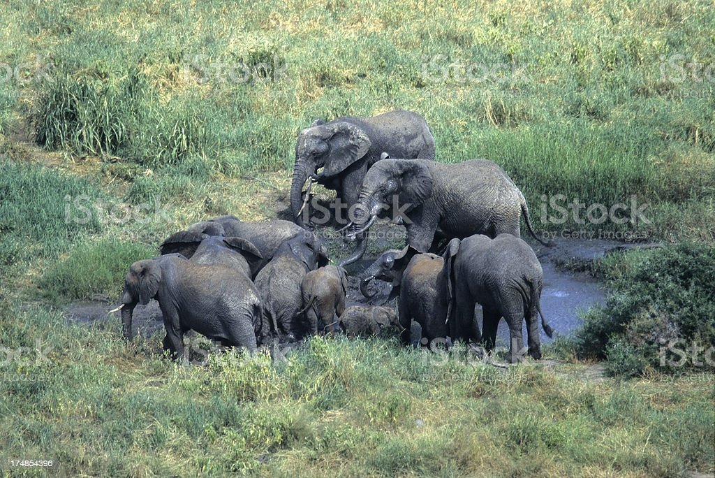 African elephant herd in mud Tanzania copy space royalty-free stock photo