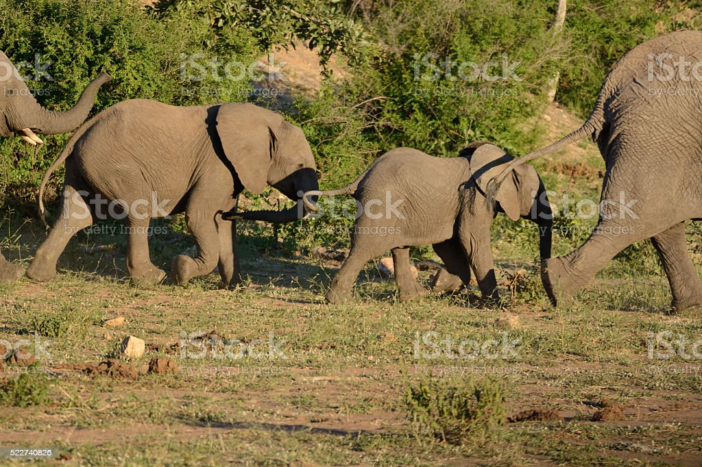African Elephant herd moving to the waterhole stock photo