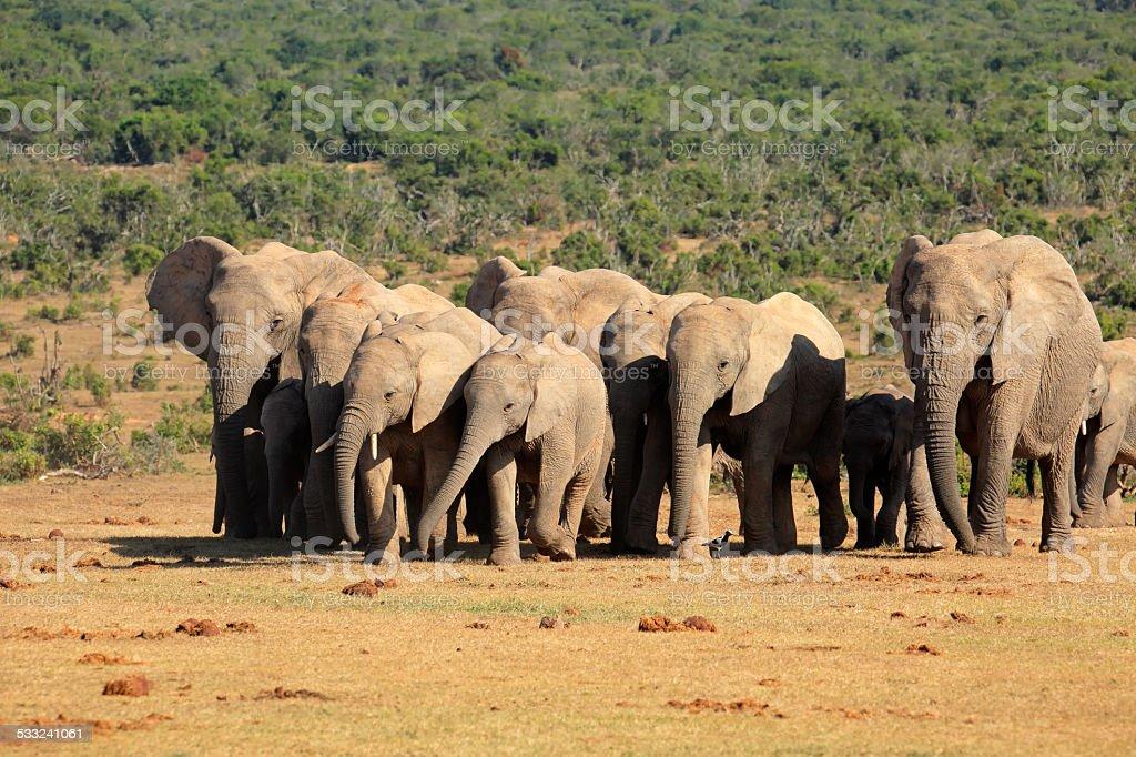 African elephant herd stock photo