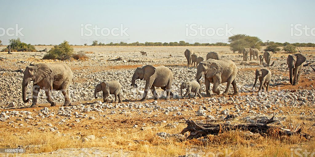 African Elephant Herd Walking in A Row stock photo