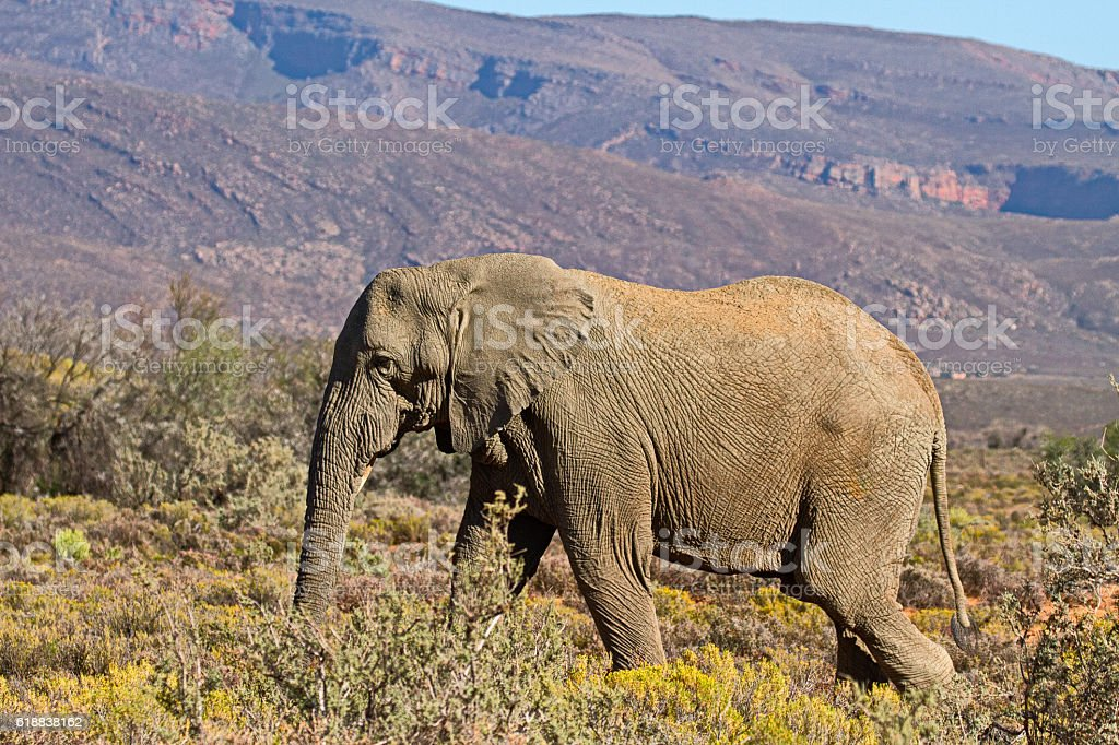 African elephant in Karoo area. South Africa. stock photo