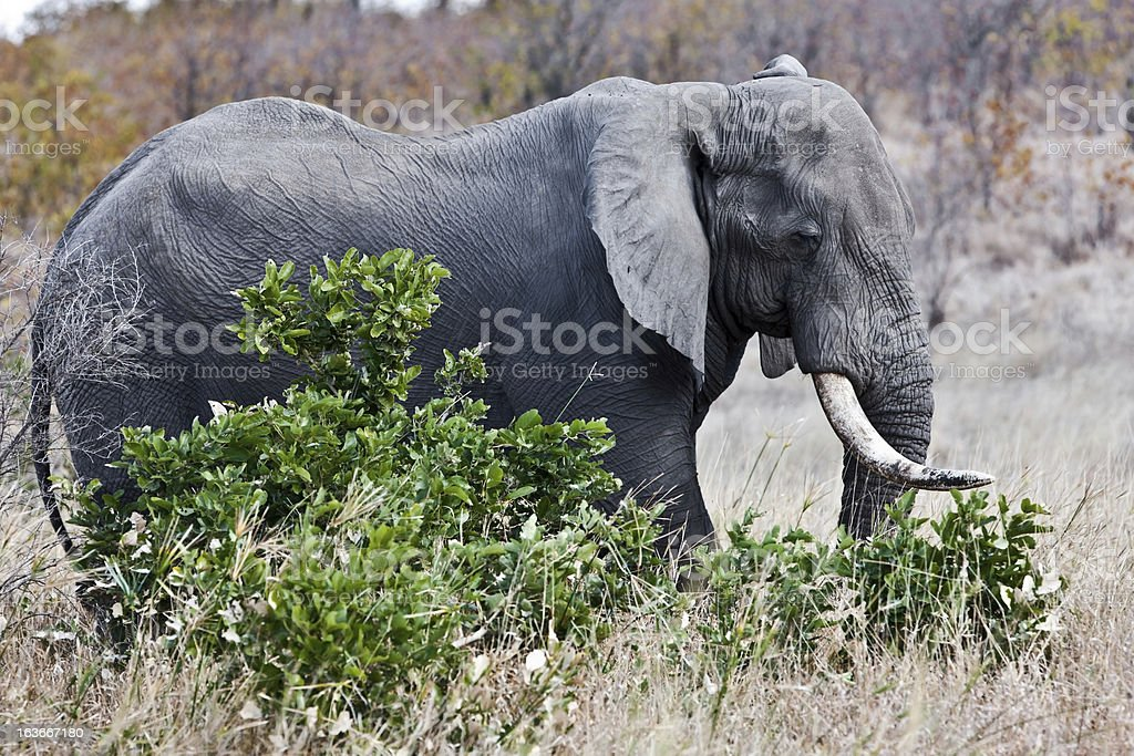 African elephant in Kruger National Park, South Africa royalty-free stock photo