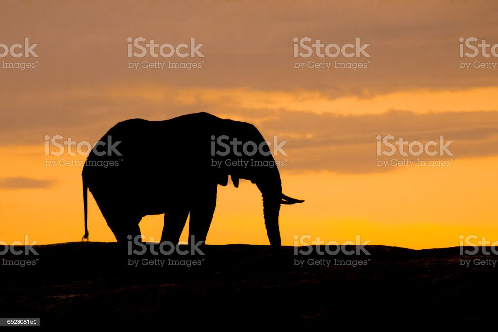 African elephant in silhouette at sunset. stock photo