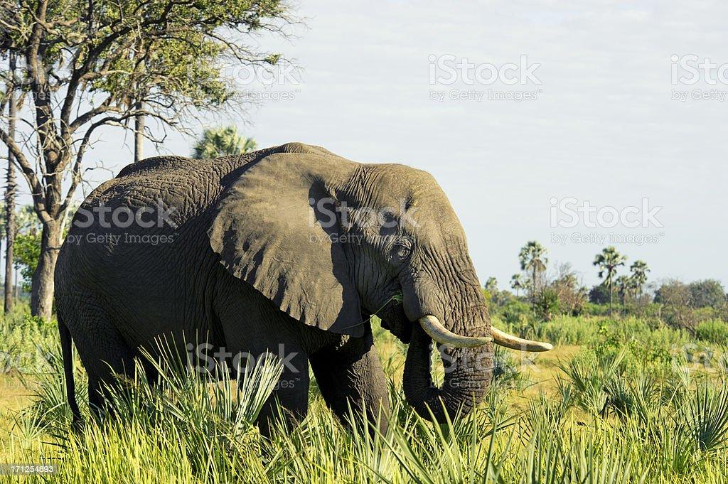 African elephant in the Okavango delta royalty-free stock photo