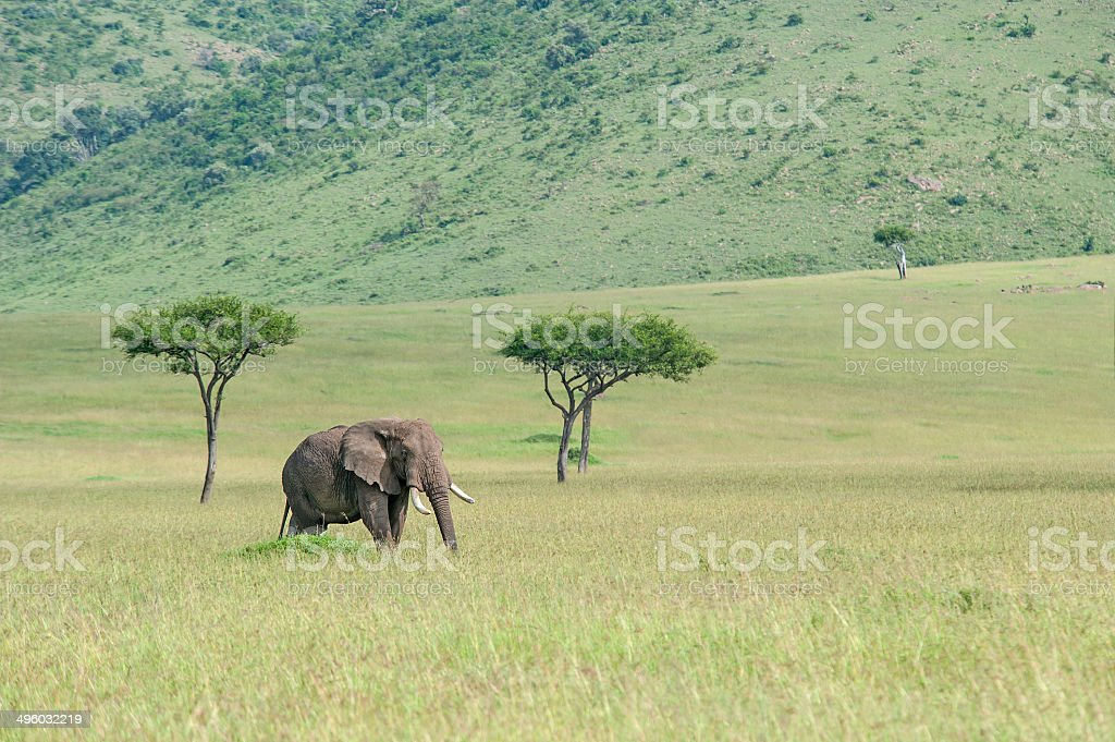 African Elephant is feeding in the green plains stock photo