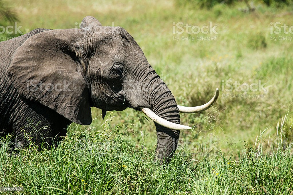 African elephant is grazing in the Serengeti stock photo