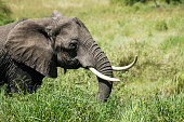African elephant is grazing in the Serengeti