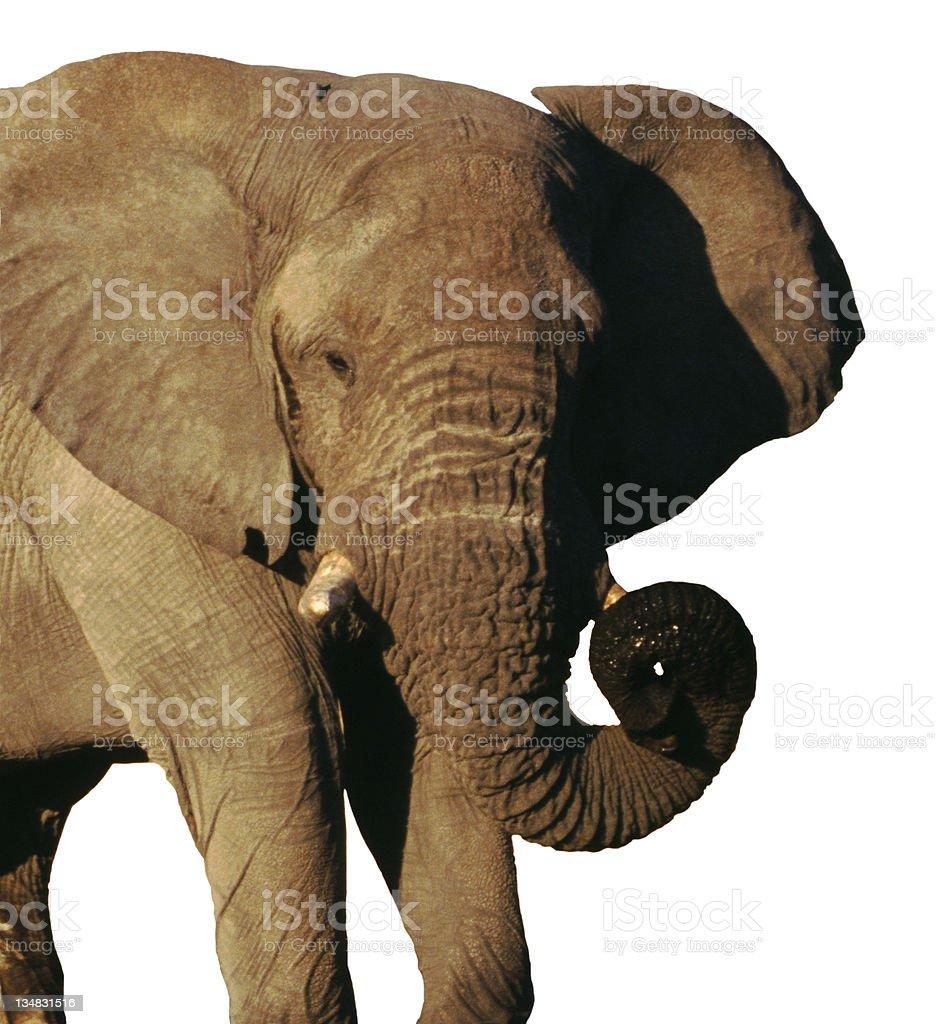 African Elephant isolated on White royalty-free stock photo