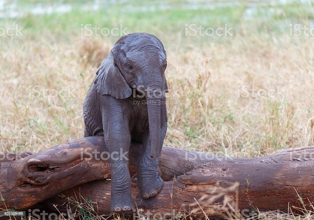 African Elephant Juvenile, Tarangire National Park, Tanzania Africa stock photo