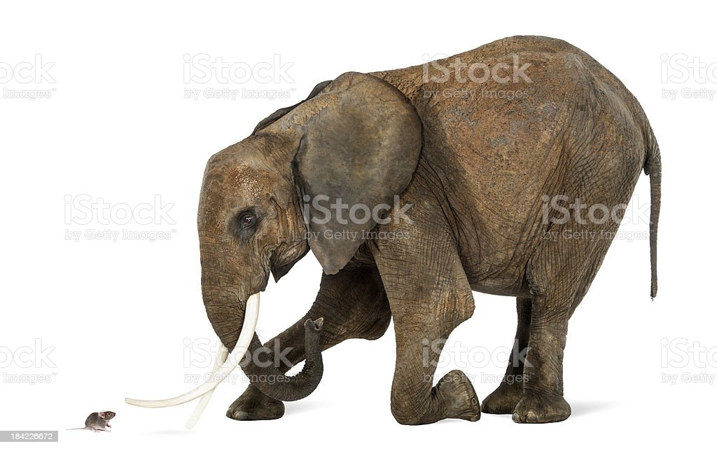 African elephant kneeling in front of a mouse stock photo