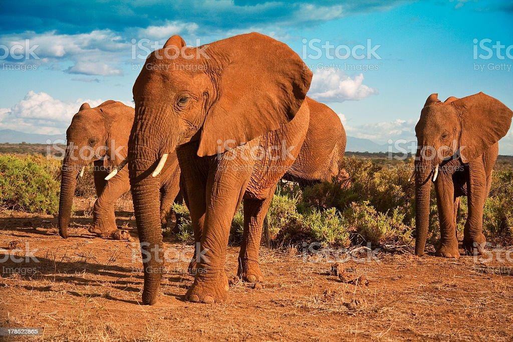 African elephant matriarchy against a blue sky stock photo