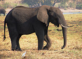 African elephant on the banks of the river
