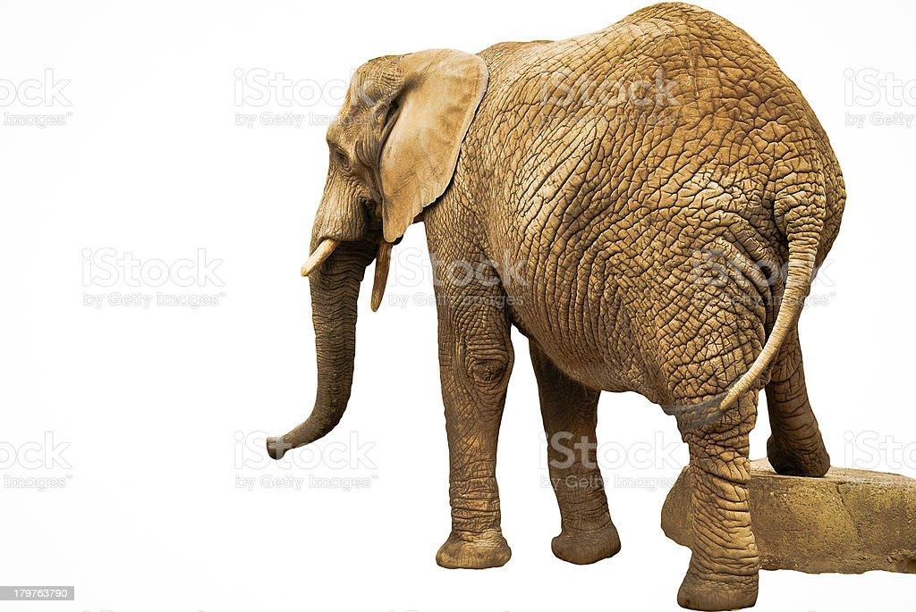 Afrikanischer Elefant auf die stone-isoliert Lizenzfreies stock-foto