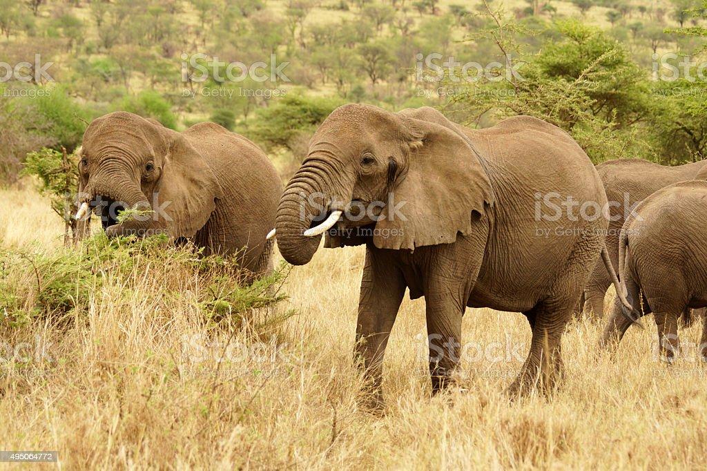 African Elephant stock photo