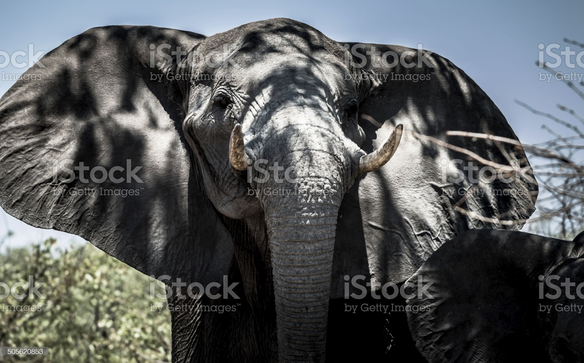 African Elephant royalty-free stock photo