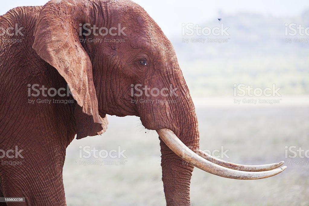 African Elephant Portrait royalty-free stock photo