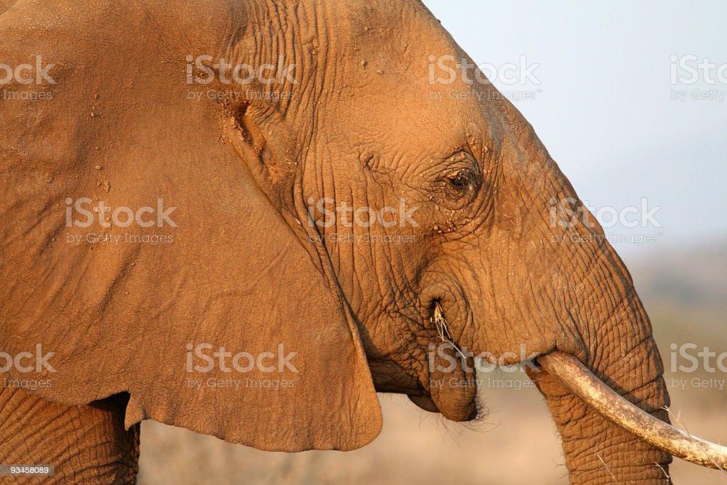 African Elephant profile stock photo