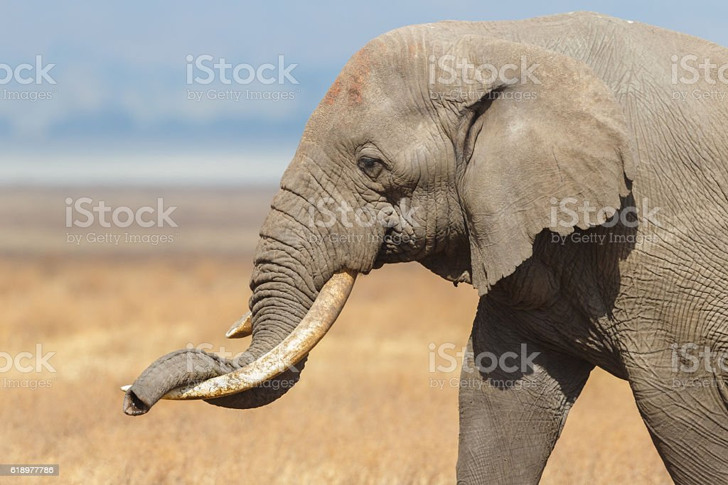 African Elephant resting his trunk on his tusk, Ngorongoro Tanzania stock photo