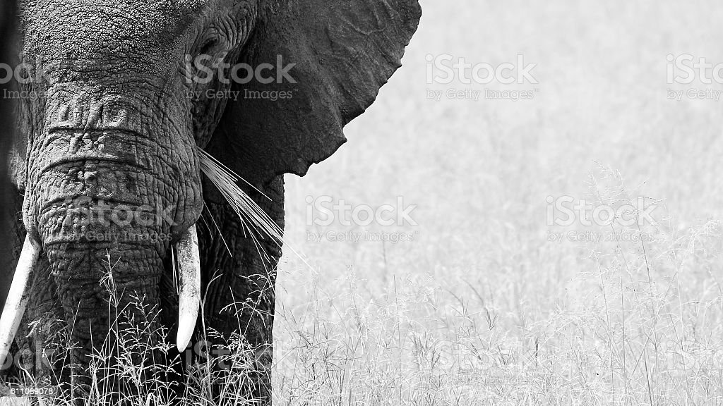 African elephant serengeti tanzania tusk ears black_and_white safari stock photo