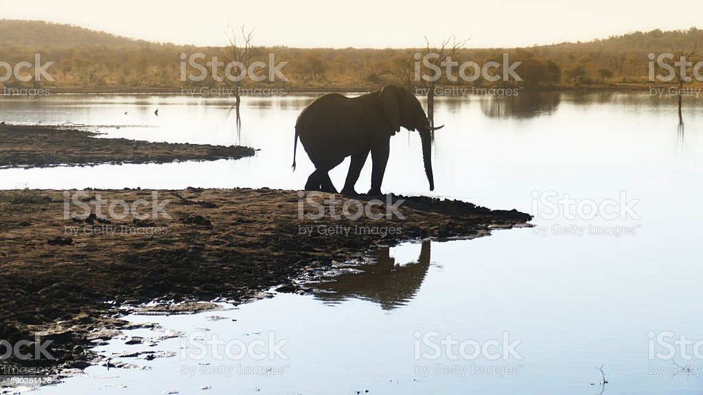 African elephant standing near the lake,Madikwe,South Africa stock photo