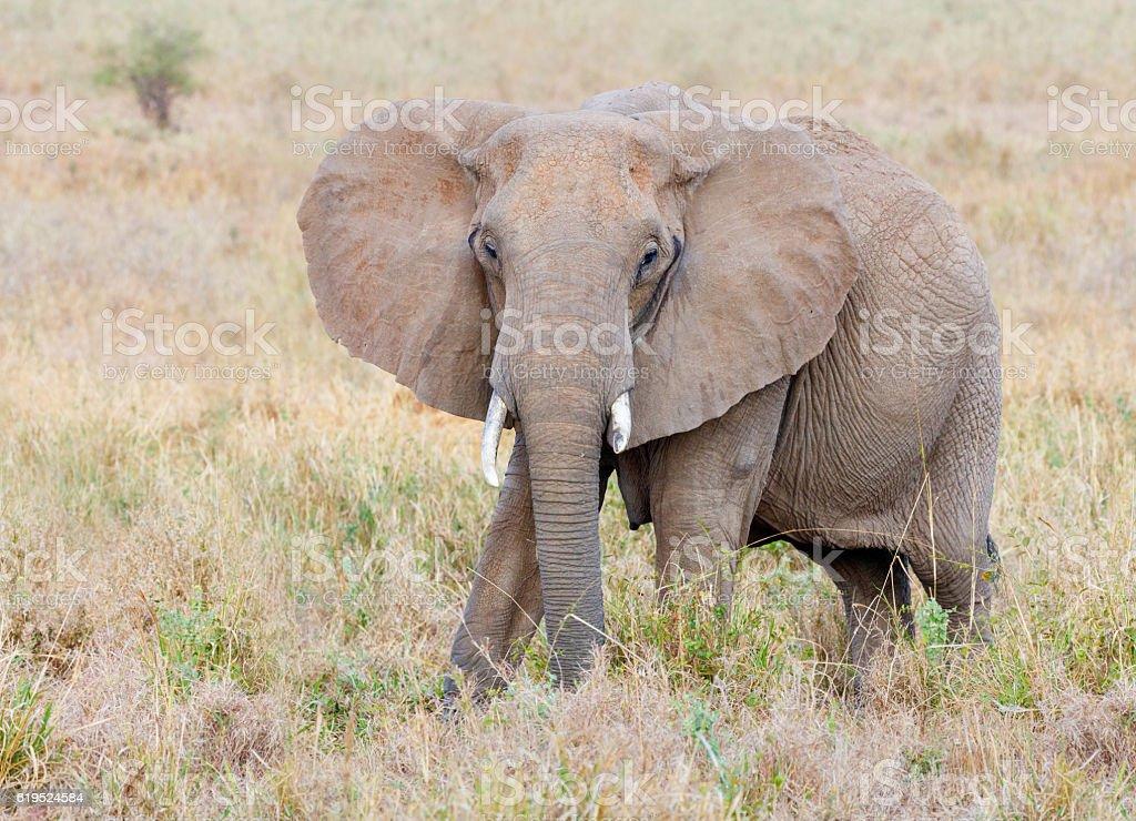 African Elephant, Tarangire National Park, Tanzania Africa stock photo