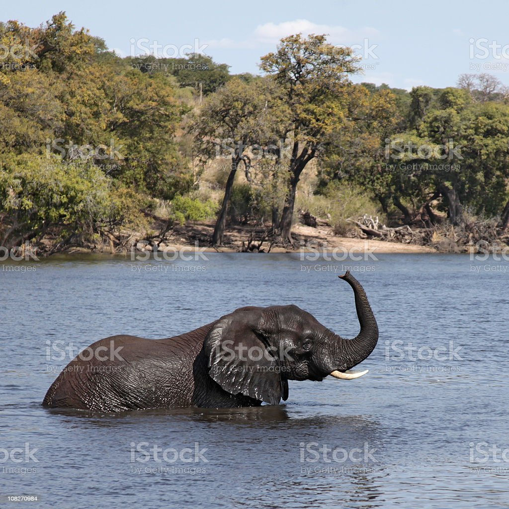 African Elephant wading; Chobe River, Botswana, trunk raised. royalty-free stock photo