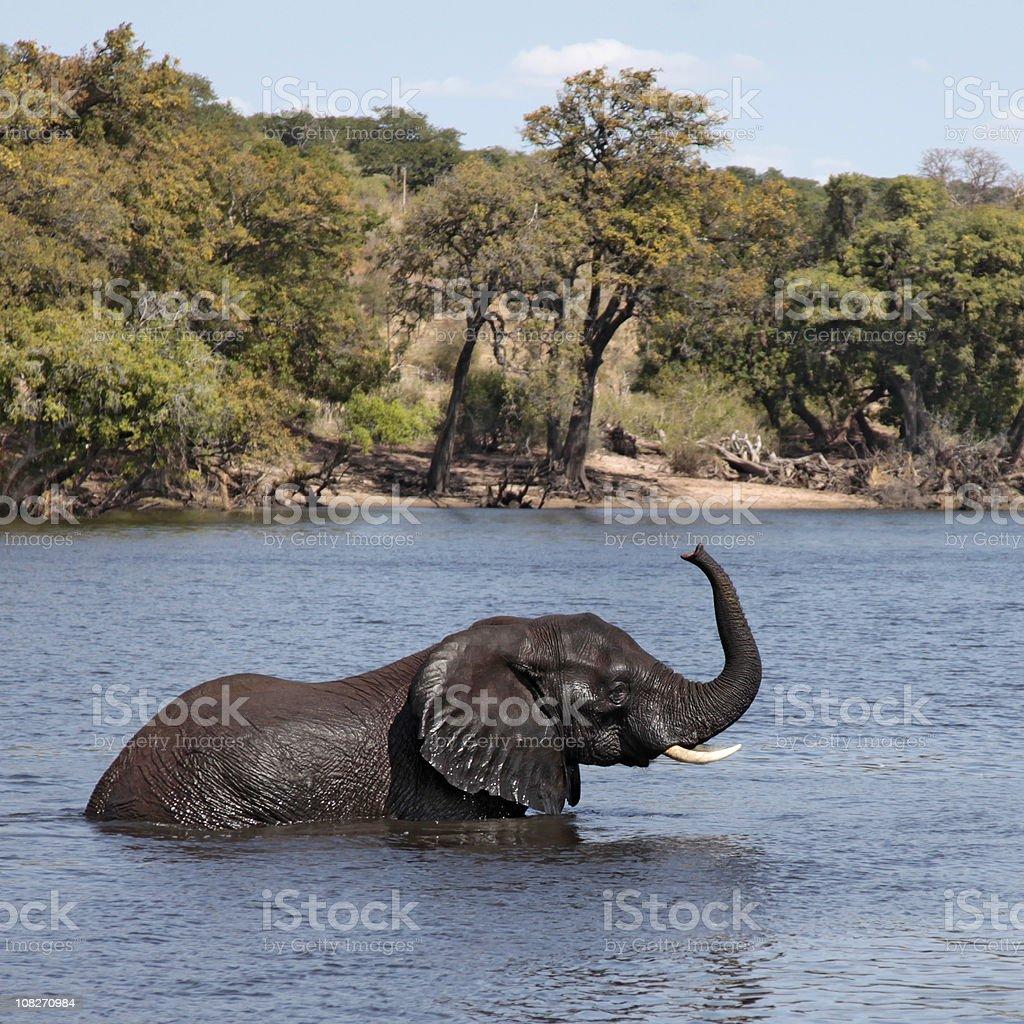 African Elephant wading; Chobe River, Botswana, trunk raised. stock photo