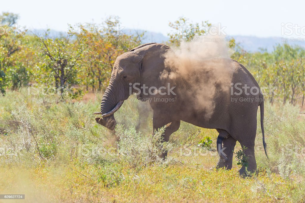 African Elephant walking in the Kruger National Park stock photo