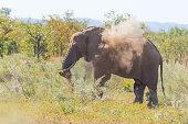 African Elephant walking in the Kruger National Park