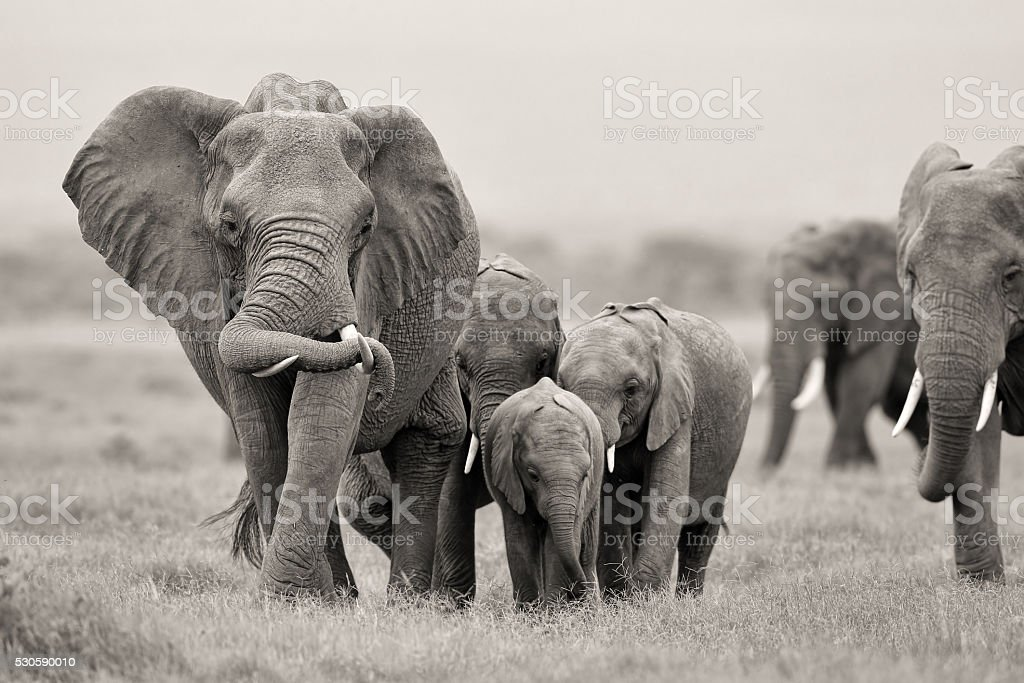 African Elephant with babies stock photo