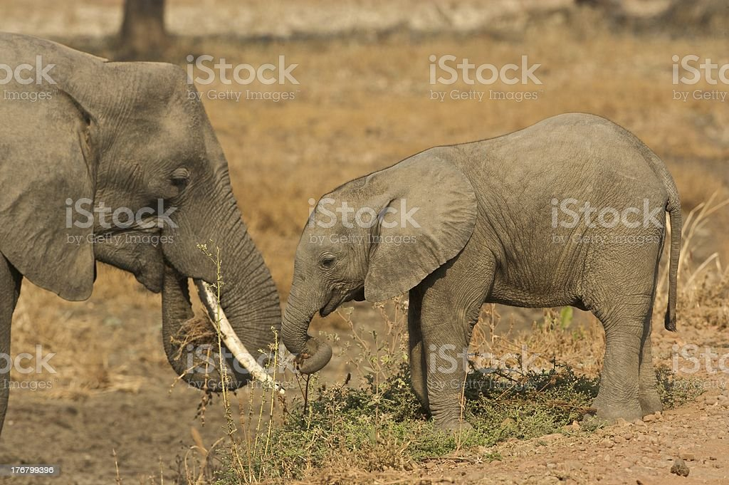 African elephant with calf royalty-free stock photo