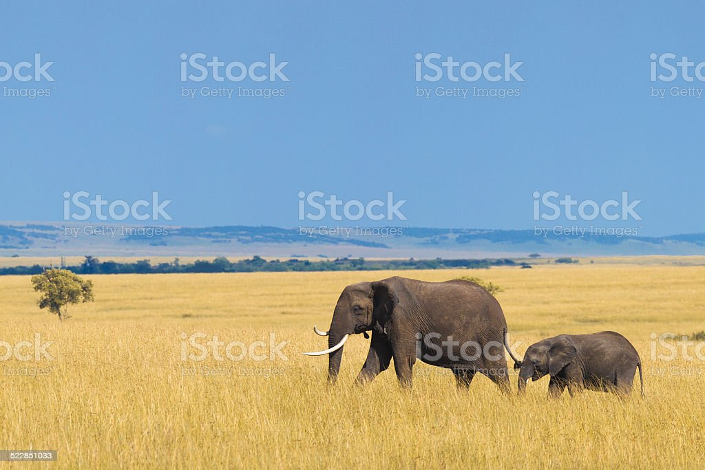 African elephant with calf stock photo