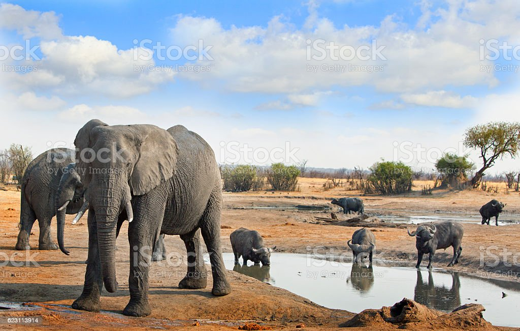 African Elephants and Cape Buffalo with a blue cloudy sky stock photo