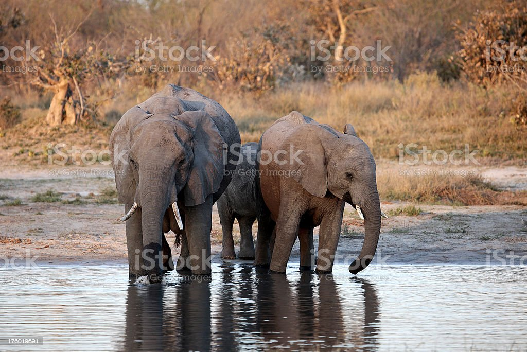African Elephants at a waterhole in early evening royalty-free stock photo