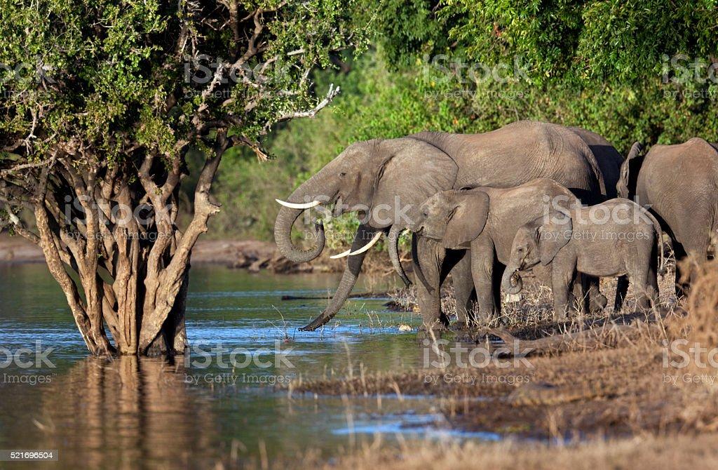 African Elephants - Botswana stock photo