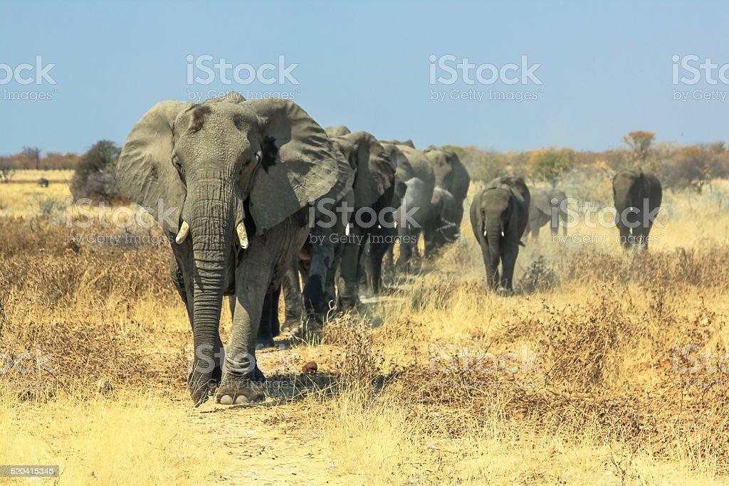 African elephants charge stock photo