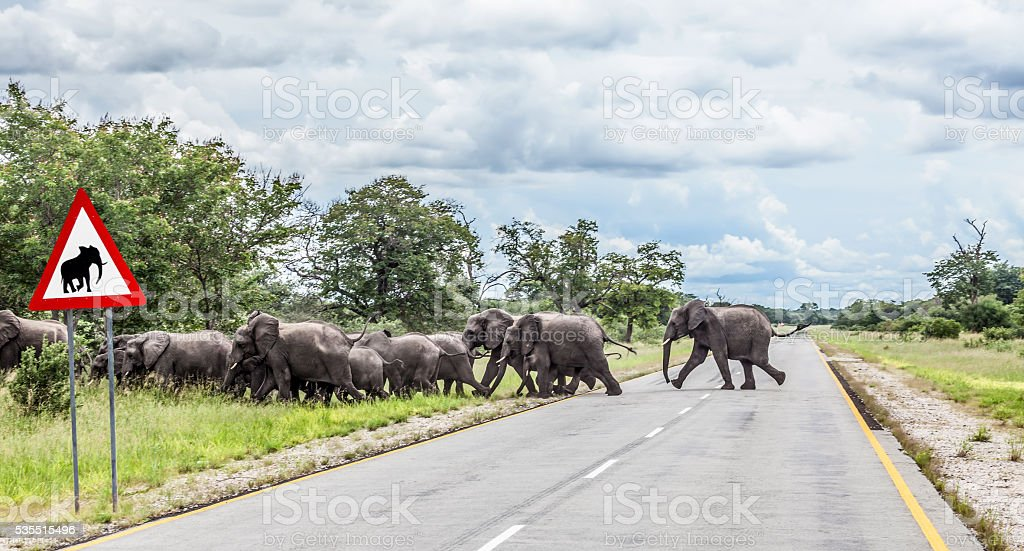 African elephants crossing Trans-Kalahari Highway, Namibia, Africa stock photo