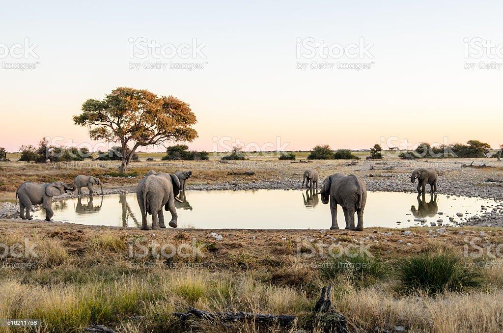 African elephants drinking  around a waterhole stock photo