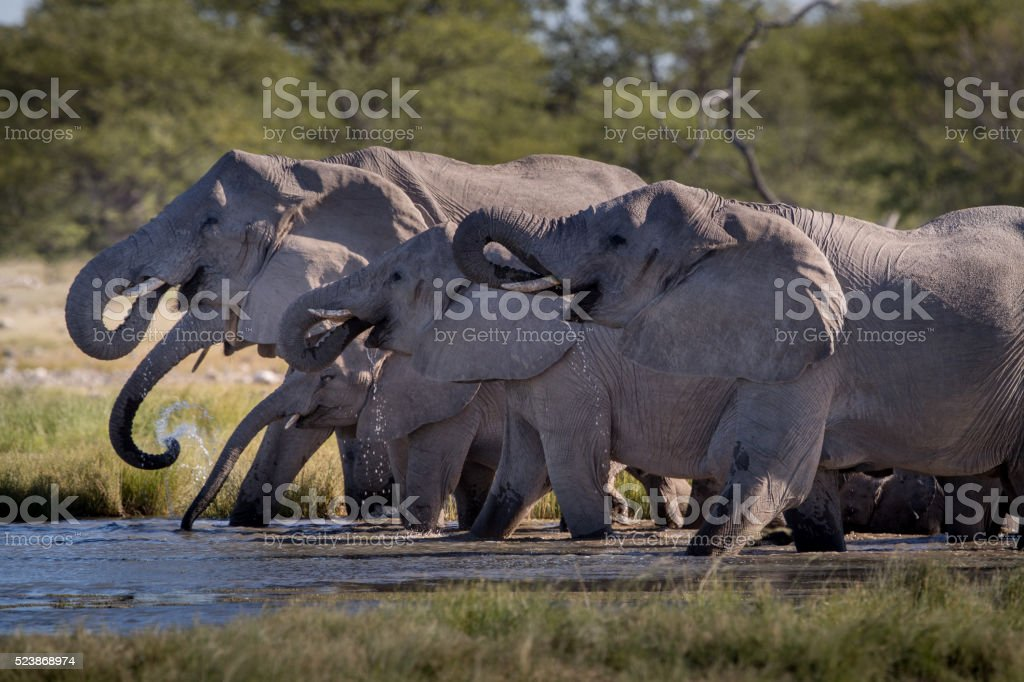 African elephants drinking at a waterhole stock photo