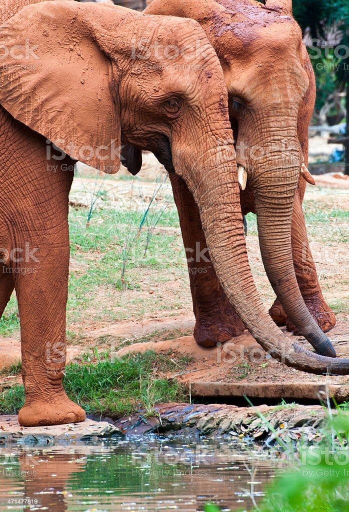 Afrykańskie słonie picie zbiór zdjęć royalty-free