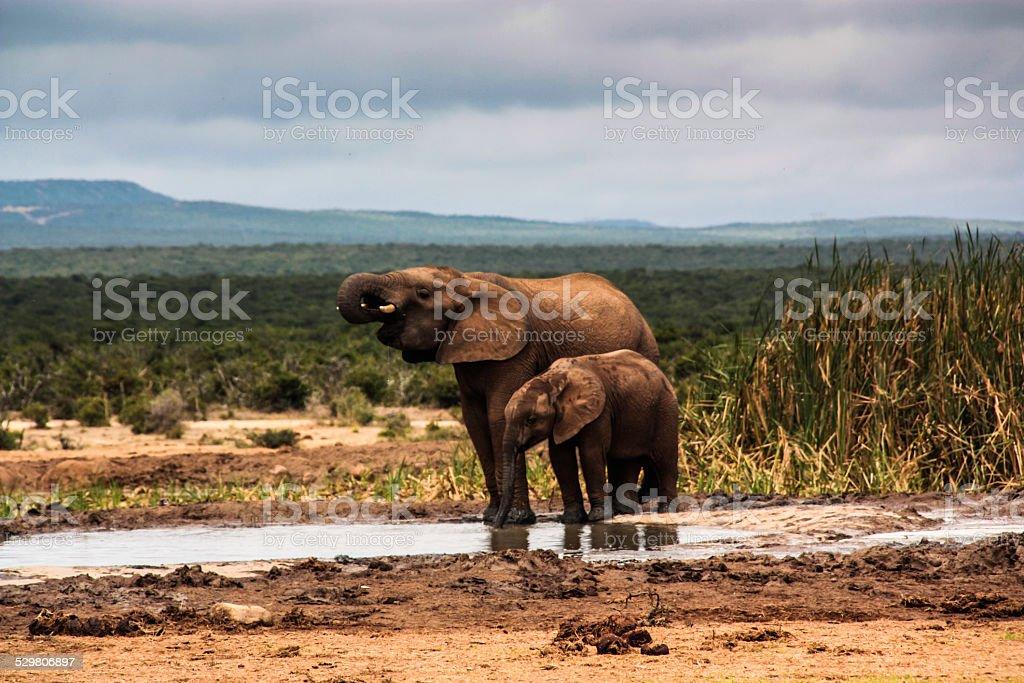 African Elephants Drinking stock photo