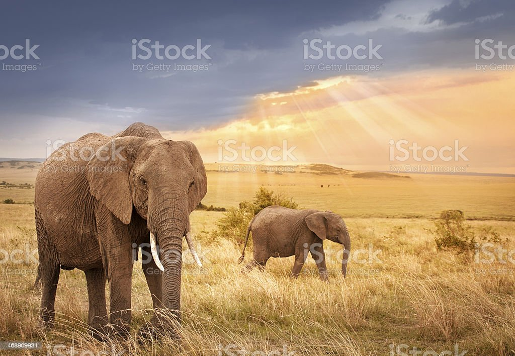 African elephants in sunset light stock photo