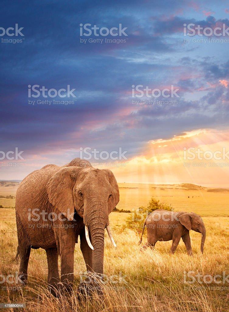 African elephants in sunset light stock photo